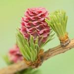 Larch flower